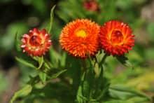 Hoa bất tử