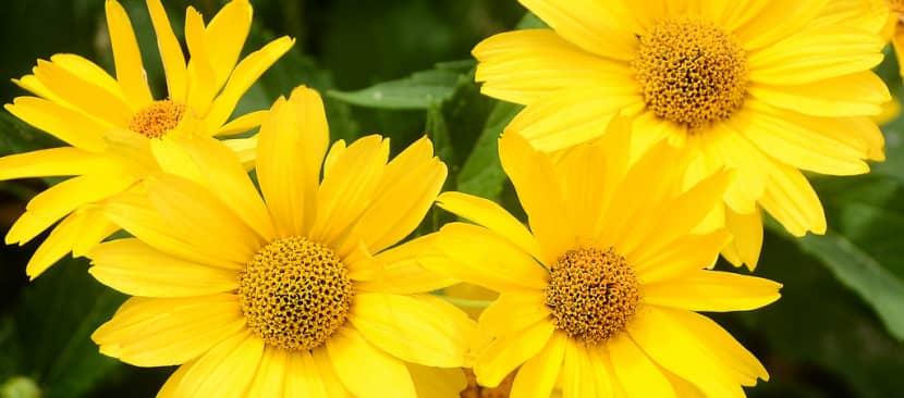Thơ hay về hoa cúc