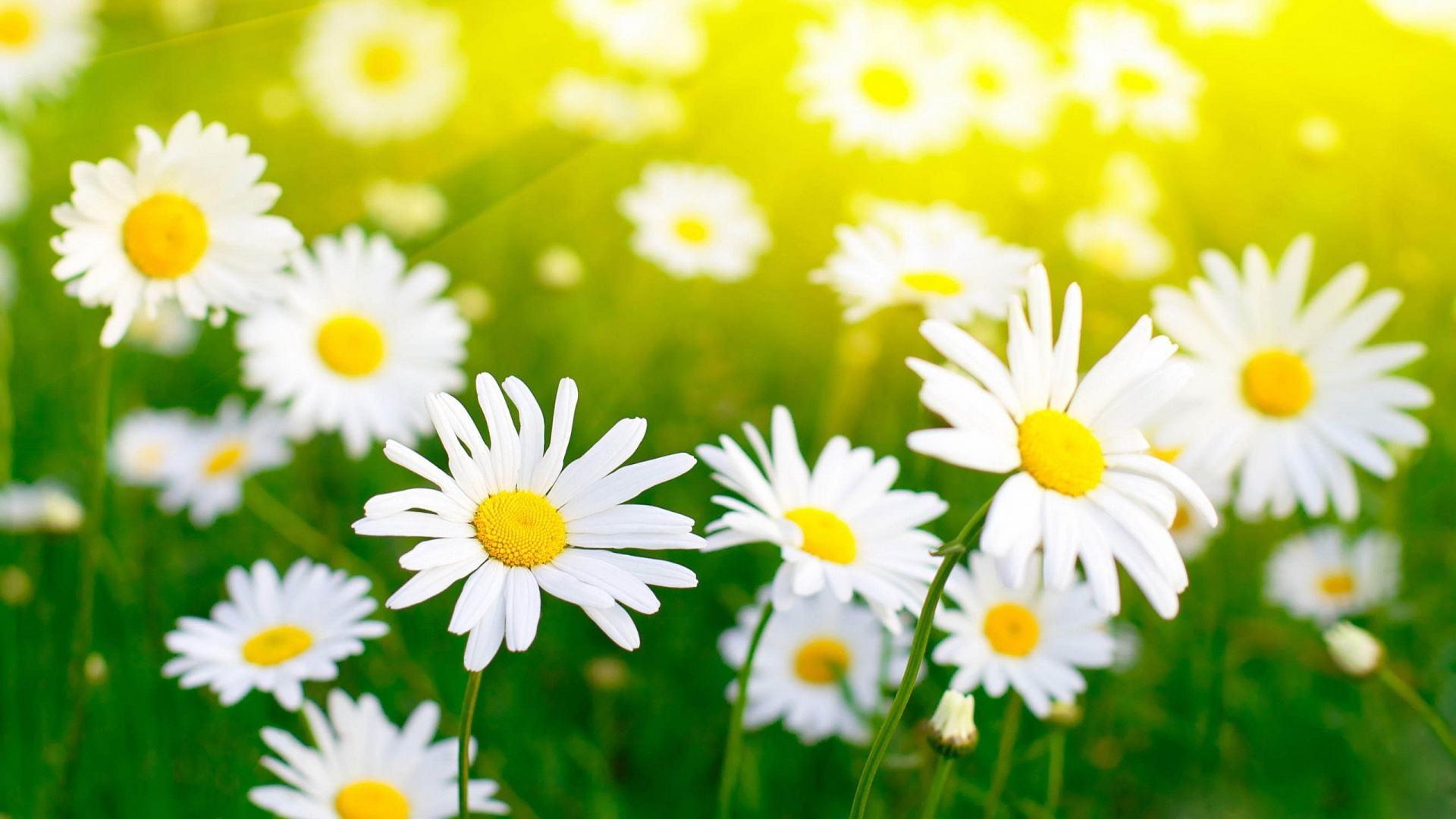 Những bài thơ hay về hoa cúc họa mi mang mùa đông tới ...
