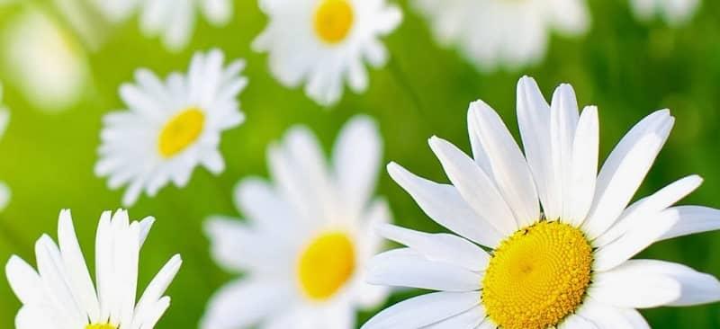 Thơ hay về hoa cúc họa mi