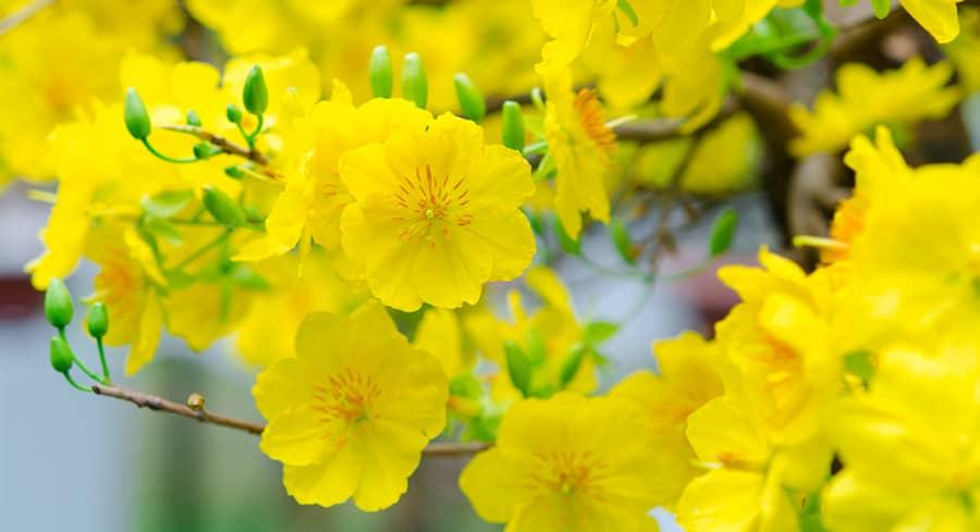 Những bài thơ hay về hoa mai vàng