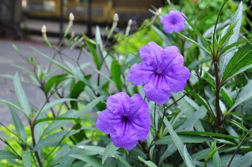 Hoa chiều tím - hoa nổ