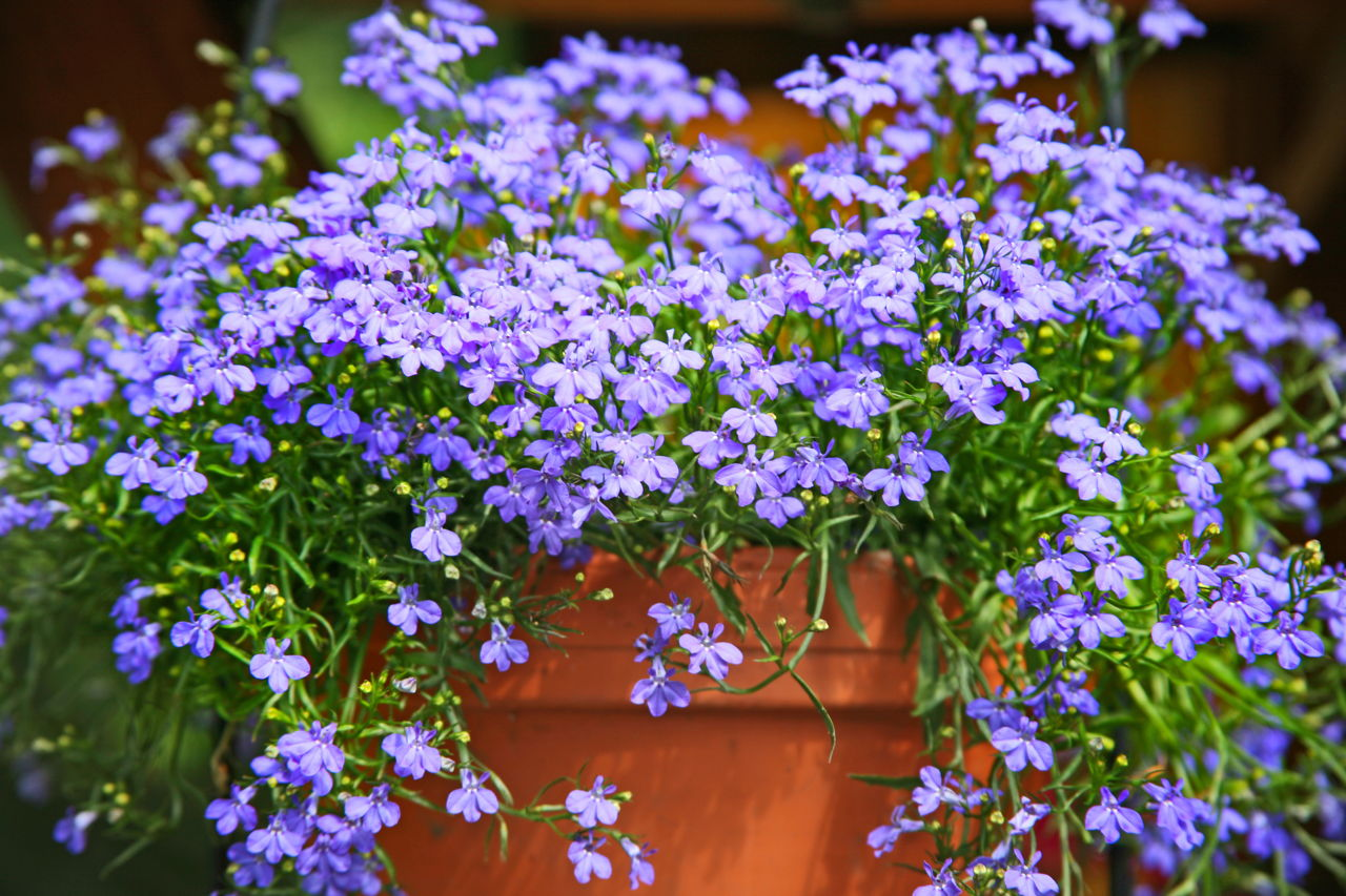 Hướng dẫn cách trồng hoa thúy điệp treo chậu