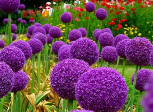 Hoa tím Giant Onion - Allium