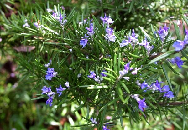 Hoa trồng ban công mang mùi hương dễ chịu
