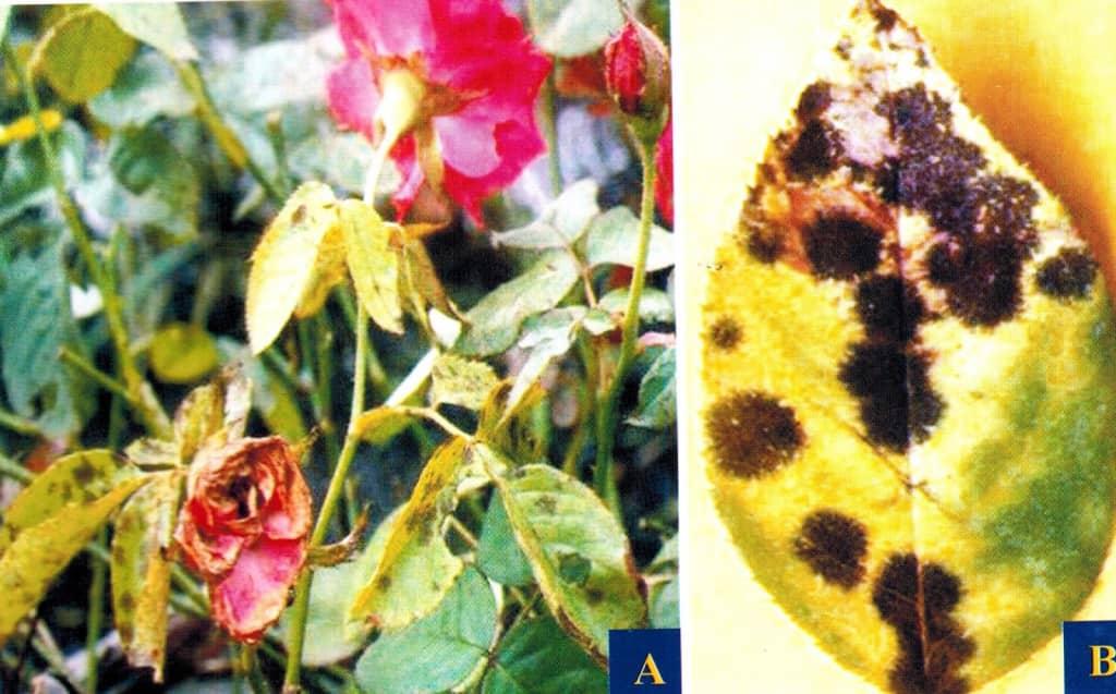 Trị bệnh đốm đen trên cây hoa hồng