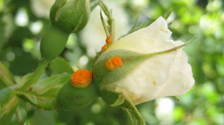 Trị bệnh rỉ sắt trên cây hoa hồng
