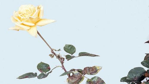 Bệnh sương mai trên cây hoa hồng