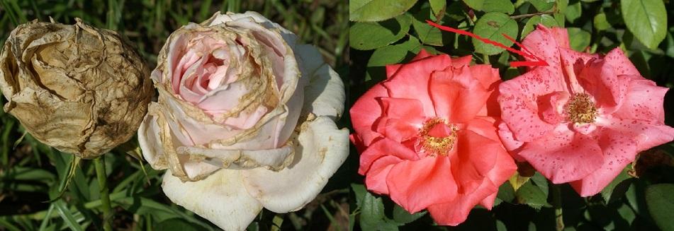 Bệnh thối đen trên cây hoa hồng