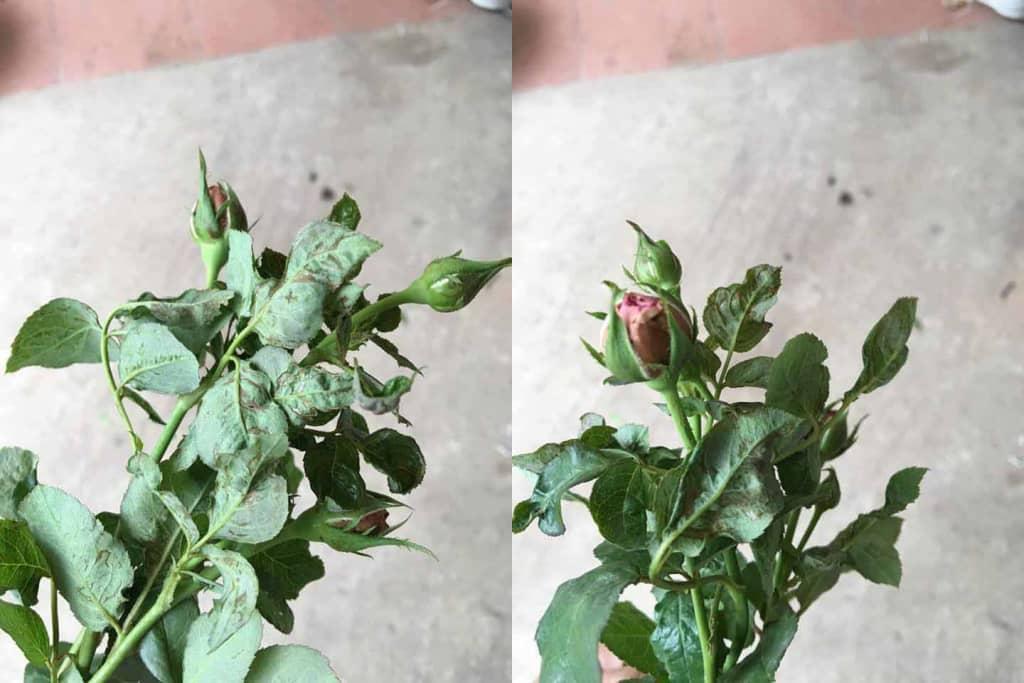 Mẹo diệt tận gốc Bọ trĩ gây hại hoa hồng