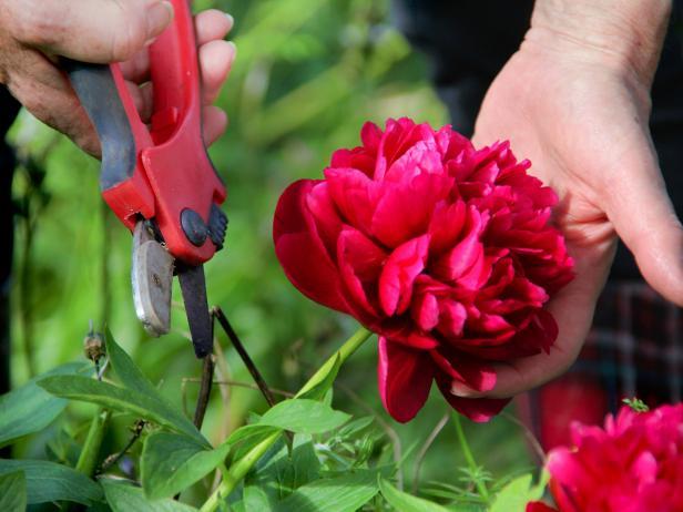 Kỹ thuật cắt tỉa và tạo dáng hoa hồng leo