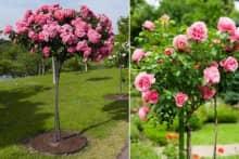 Kỹ thuật ghép hoa hồng thân gỗ nhiều màu