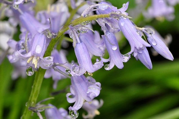 Kỹ thuật trồng hoa chuông cho hương thơm nồng nàn