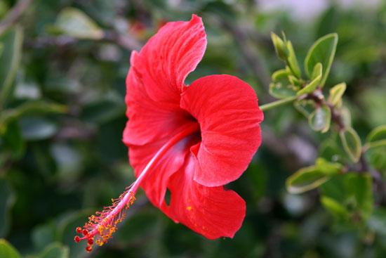Kỹ thuật trồng hoa Dâm bụt lùn cho hoa đẹp bốn mùa