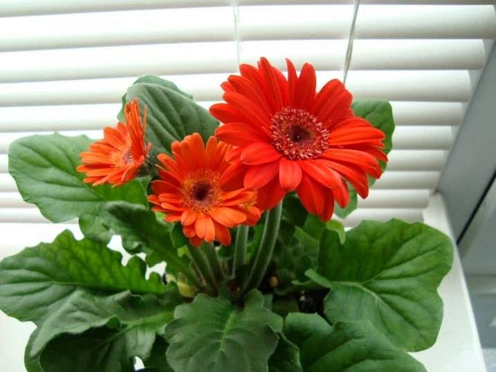 Hướng dẫn trồng hoa đồng tiền lùn