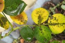Xử lý hiện tượng cây hoa hồng bị vàng lá đầu mùa mưa