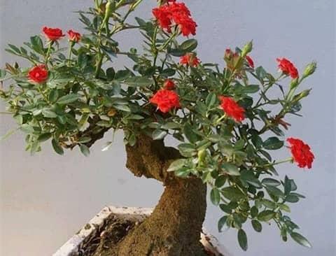 Kỹ thuật trồng hoa Hồng bonsai đẹp độc, lạ