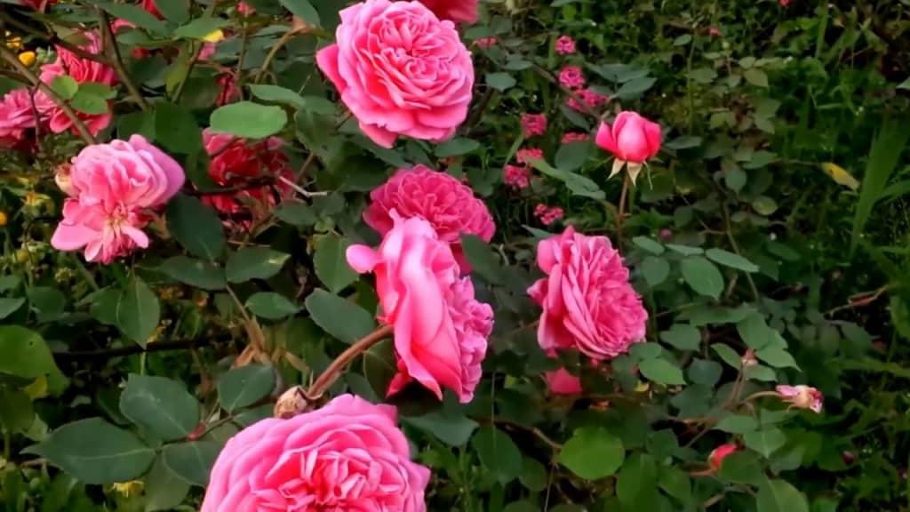 Tuyệt chiêu trồng hoa hồng cổ sapa