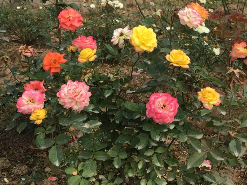 Kỹ thuật trồng và chăm sóc hoa hồng đổi màu