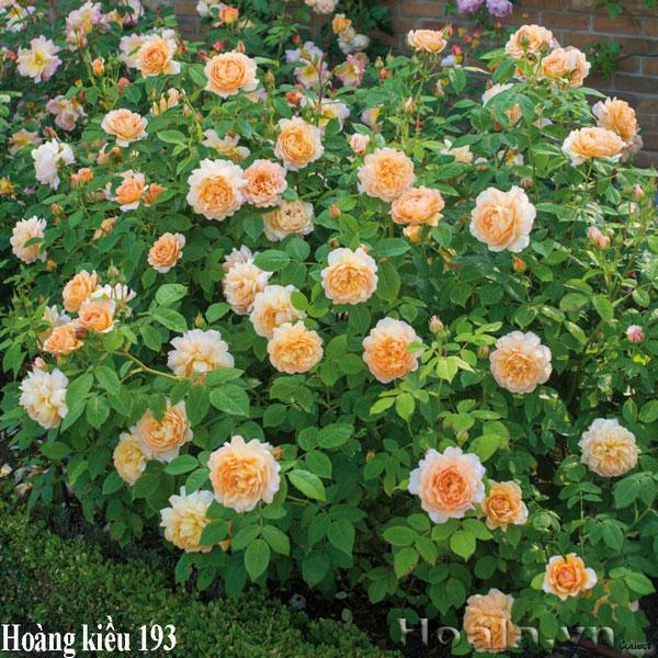 Trồng hoa hồng leo hoàng kiều