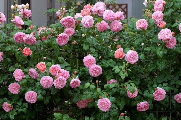 Kỹ thuật trồng hoa Hồng leo Thái cho tường nhà nổi bật
