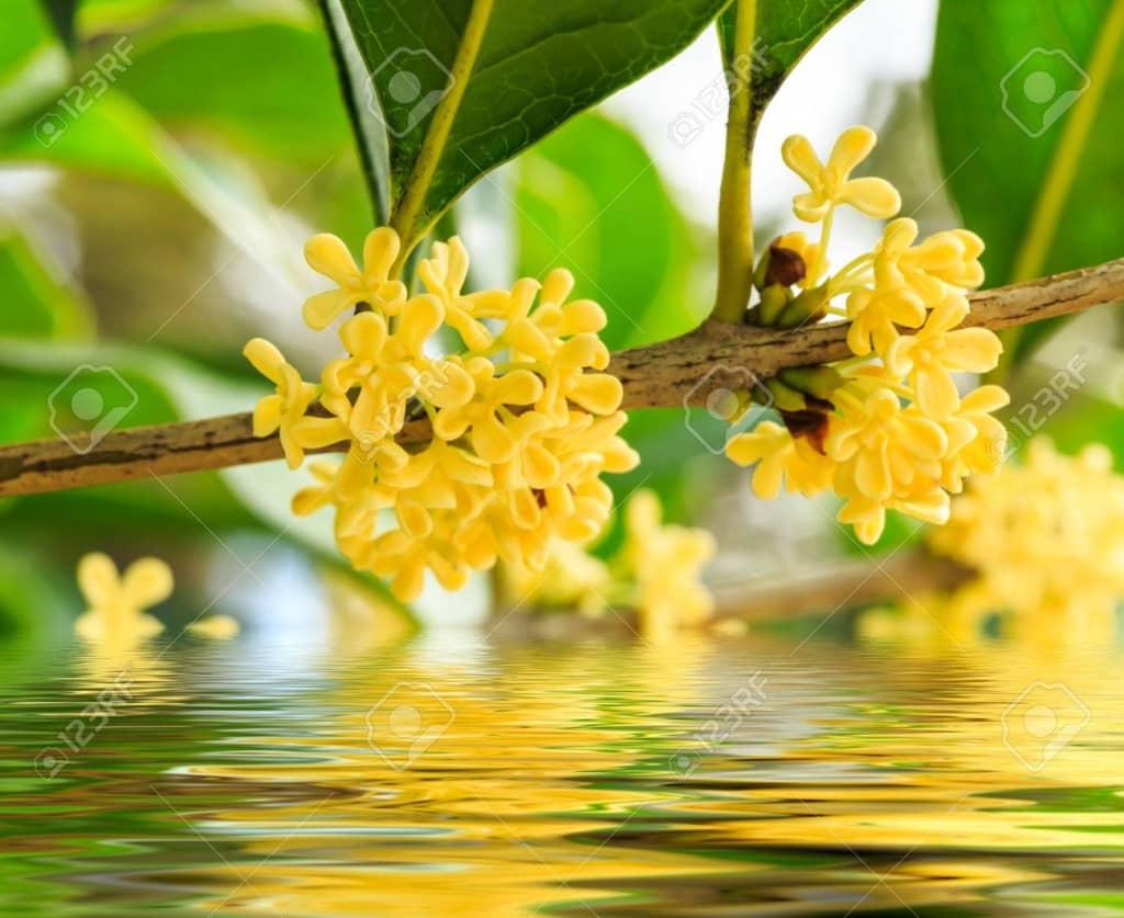 Trồng cây hoa Mộc cho vườn nhà thơm ngát hương