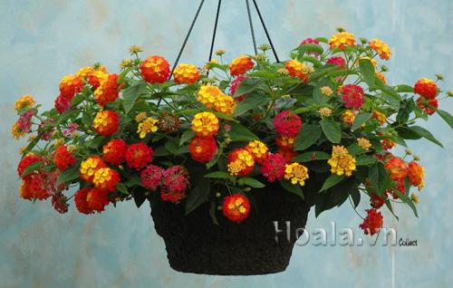 Kỹ thuật trồng hoa ngũ sắc