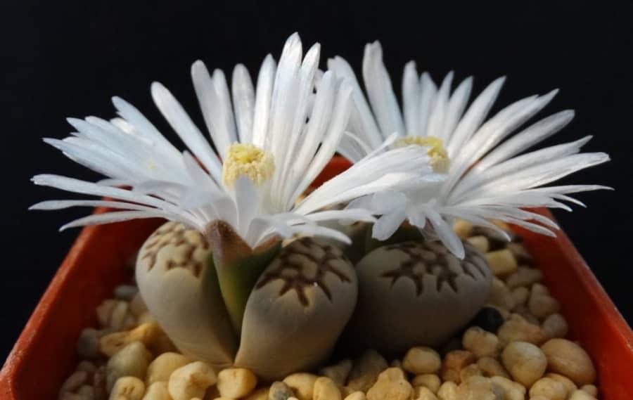 Kỹ thuật trồng hoa Thạch lan để bàn đẹp ngỡ ngàng