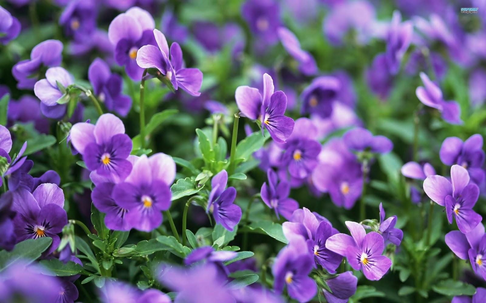Ý nghĩa hoa violet tím