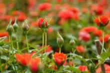 4 loại sâu bệnh hại trên cây hoa hồng và cách phòng trừ