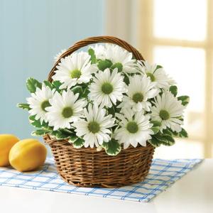 Nhân giống hoa Cúc bằng phương pháp giâm cành