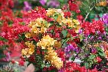 Kỹ thuật nhân giống hoa giấy nhiều màu