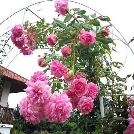 Nhân giống hoa Hồng ngoại kiếm trăm triệu mỗi năm