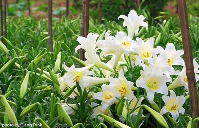 4 kỹ thuật nhân giống hoa loa kèn