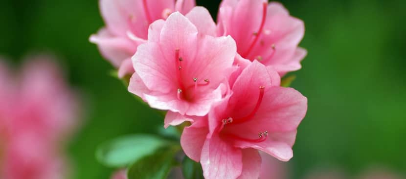 Những bài thơ về hoa đỗ quyên