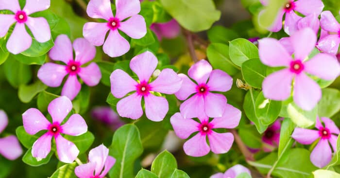 Ý nghĩa hoa dừa cạn mang may mắn cho cuộc sống