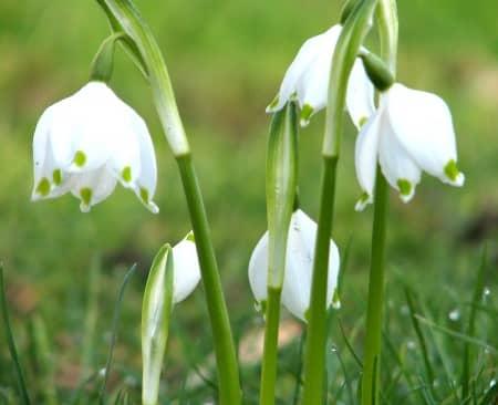 Sự tích hoa giọt tuyết