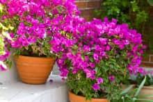 Hoa leo thân mềm trồng chậu