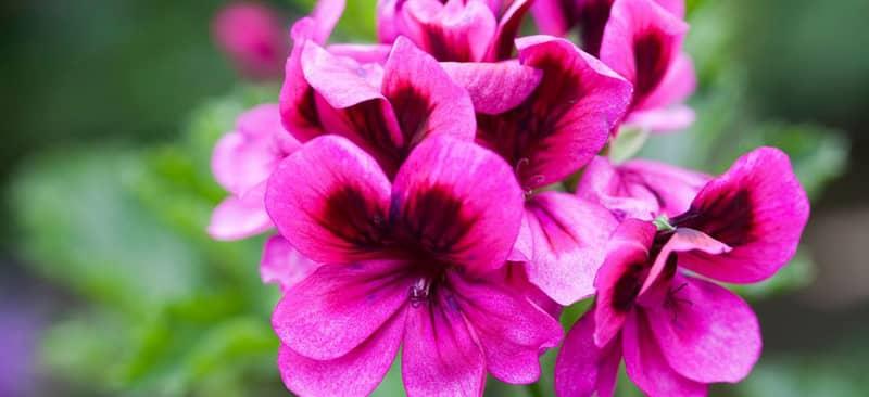 Ý nghĩa của hoa phong lữ thảo