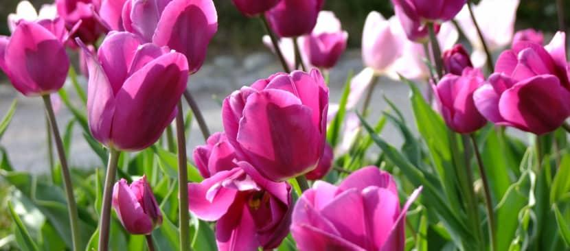 Ý nghĩa hoa Tulip tượng trưng cho tình yêu hoàn hảo