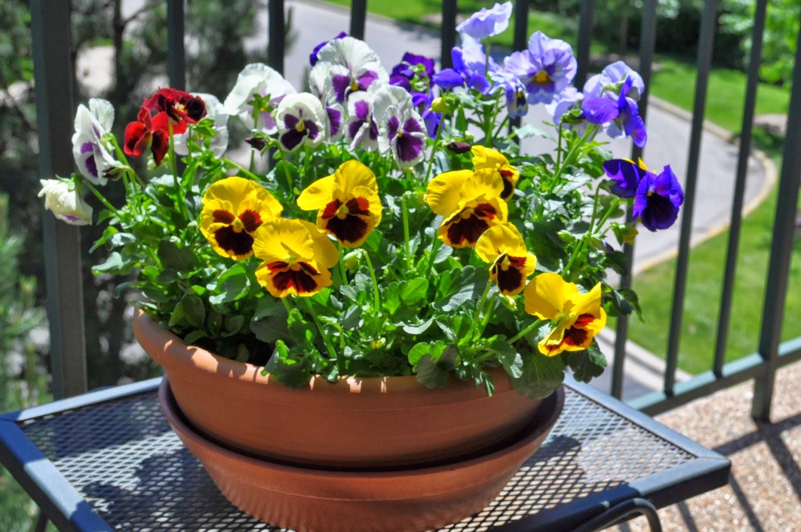 Trồng hoa gì cho ban công vào mùa thu