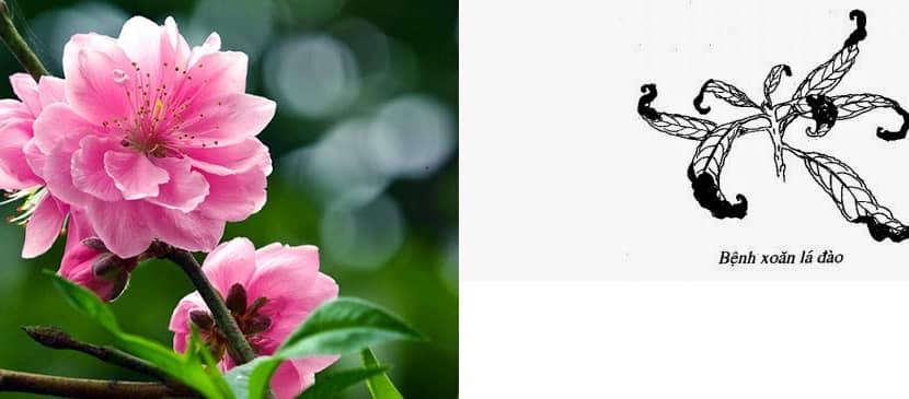 4 loại bệnh hại cây hoa đào