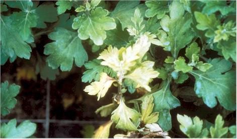 8 loại bệnh hại trên cây hoa cúc