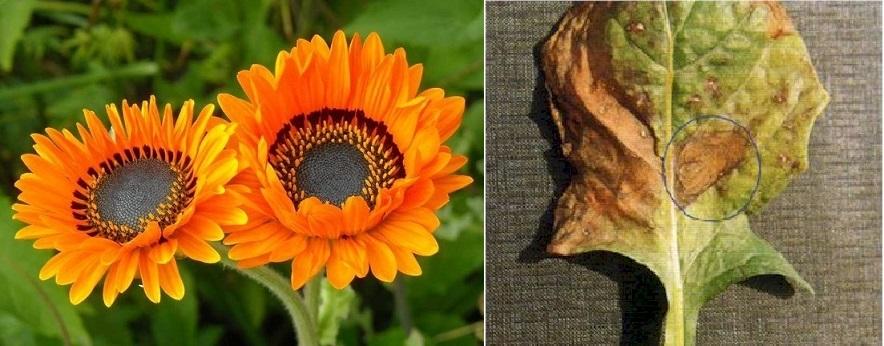 9 loại sâu bệnh hại cây hoa Đồng tiền và biện pháp phòng trừ