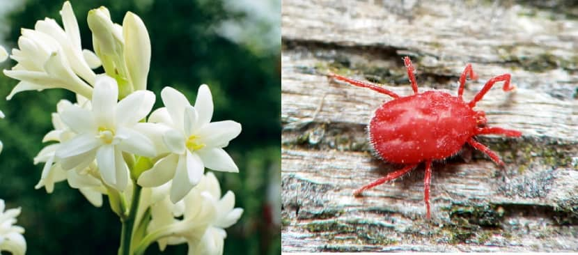 Diệt trừ sâu bệnh hại cây hoa Huệ hiệu quả