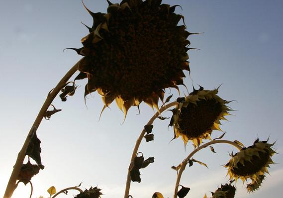 Bệnh hại hoa hướng dương