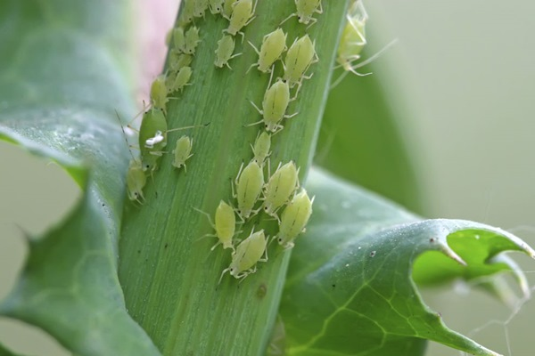 8 loại sâu bệnh hại hoa Ly và biện pháp phòng trừ