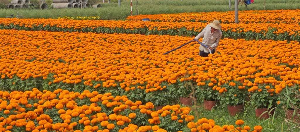 Phòng trừ bệnh hại hoa Vạn thọ
