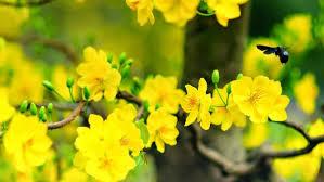 12 loại bệnh trên cây mai vàng và cách phòng trừ