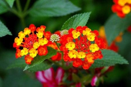 Kỹ thuật ghép hoa ngũ sắc đẹp rực rỡ